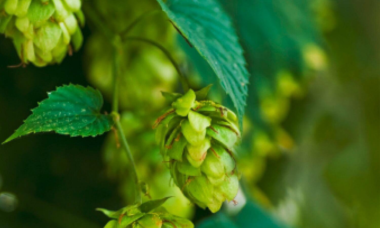 Brauerei Maisach - hopfen
